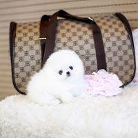 Pomeranian Puppies for sale in San Antonio, TX, USA. price: NA