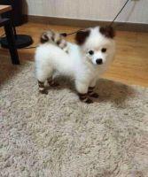 Pomeranian Puppies for sale in East Orange, NJ 07017, USA. price: NA