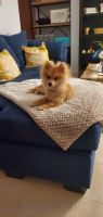 Pomeranian Puppies for sale in Brooklyn, NY, USA. price: NA