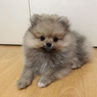 Pomeranian Puppies for sale in The Bronx, NY, USA. price: NA