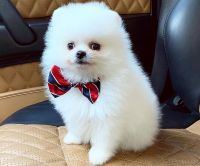 Pomeranian Puppies for sale in Texas City Dike, Texas City, TX, USA. price: NA