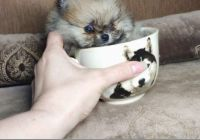 Pomeranian Puppies for sale in Fort Worth, TX, USA. price: NA