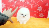 Pomeranian Puppies for sale in New York, NY 10119, USA. price: NA