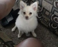 Pomeranian Puppies for sale in Lumberton, NC, USA. price: NA