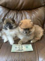 Pomeranian Puppies for sale in McDonough, GA, USA. price: NA