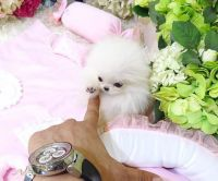 Pomeranian Puppies for sale in Missoula, MT, USA. price: NA
