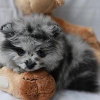 Pomeranian Puppies for sale in Abbeville, SC 29620, USA. price: NA