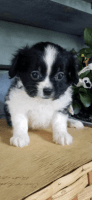 Pomeranian Puppies for sale in Cuyahoga Falls, OH, USA. price: NA