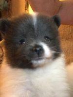 Pomeranian Puppies for sale in 7265 Colony Ln, Douglasville, GA 30135, USA. price: NA