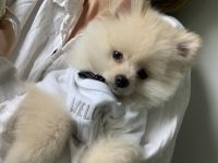 Pomeranian Puppies for sale in Dothan, AL, USA. price: NA