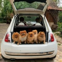 Pomeranian Puppies for sale in Hustisford, WI, USA. price: NA