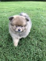 Pomeranian Puppies for sale in Hiram, GA, USA. price: NA