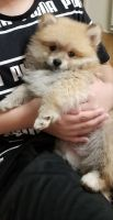 Pomeranian Puppies for sale in Rosemead, CA 91770, USA. price: NA
