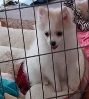 Pomeranian Puppies for sale in Pampa, TX 79065, USA. price: NA