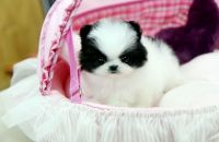 Pomeranian Puppies for sale in N Pine St, Charlotte, NC 28202, USA. price: NA
