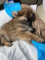 Pomeranian Puppies for sale in Arlington, VA, USA. price: NA