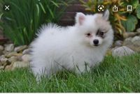 Pomeranian Puppies for sale in West Bloomfield Township, MI, USA. price: NA