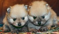 Pomeranian Puppies for sale in 5th Ave, New York, NY, USA. price: NA