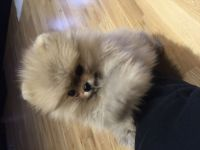 Pomeranian Puppies for sale in Cumming, GA, USA. price: NA