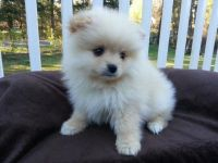 Pomeranian Puppies for sale in Texas City, TX, USA. price: NA