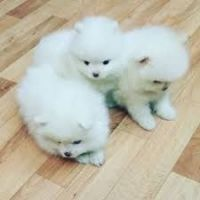 Pomeranian Puppies for sale in Union City, CA, USA. price: NA