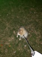 Pomeranian Puppies for sale in Rockville, MD, USA. price: NA