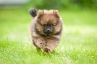Pomeranian Puppies for sale in Columbus, GA, USA. price: NA