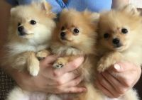 Pomeranian Puppies for sale in Branson, MO 65616, USA. price: NA