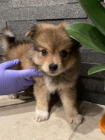 Pomeranian Puppies for sale in Carver Rd, Modesto, CA, USA. price: NA