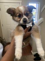 Pomeranian Puppies for sale in Auburn, WA, USA. price: NA