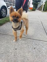 Pomeranian Puppies for sale in Nashville, TN, USA. price: NA