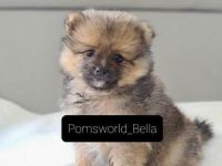 Pomeranian Puppies for sale in Peoria, AZ 85383, USA. price: NA