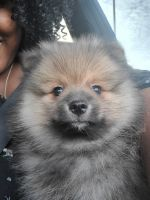 Pomeranian Puppies for sale in Brandon, FL, USA. price: NA