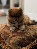 Pomeranian Puppies for sale in Aurora, CO, USA. price: NA