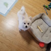 Pomeranian Puppies for sale in Ohio Ave, Middletown, OH 45042, USA. price: NA