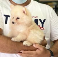 Pomeranian Puppies for sale in Boston, MA, USA. price: NA