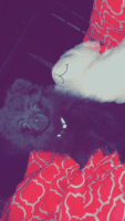 Pomeranian Puppies for sale in Orlando, FL, USA. price: NA