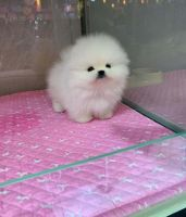 Pomeranian Puppies for sale in Birmingham, AL, USA. price: NA