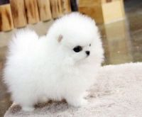 Pomeranian Puppies for sale in New York, NY 10013, USA. price: NA
