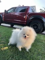 Pomeranian Puppies for sale in Norwalk, CT, USA. price: NA