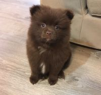Pomeranian Puppies for sale in Charlotte, NC, USA. price: NA