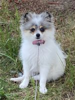 Pomeranian Puppies for sale in Elizabeth, NJ, USA. price: NA
