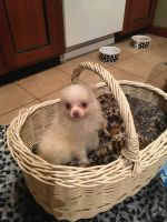 Pomeranian Puppies for sale in Willimantic, CT 06226, USA. price: NA
