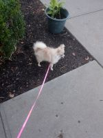 Pomeranian Puppies for sale in Copiague, NY, USA. price: NA