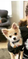 Pomeranian Puppies for sale in Salem, OR, USA. price: NA