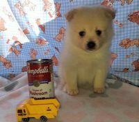 Pomeranian Puppies for sale in Phoenix, AZ, USA. price: NA
