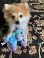 Pomeranian Puppies for sale in 4180 Pearl Rd, Cleveland, OH 44109, USA. price: NA
