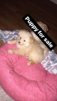 Pomeranian Puppies for sale in Baltimore, MD 21208, USA. price: NA