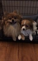 Pomeranian Puppies for sale in 6015 S Parfet St, Littleton, CO 80127, USA. price: NA