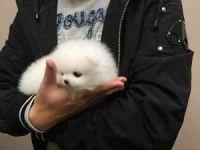 Pomeranian Puppies for sale in Santa Fe, NM, USA. price: NA